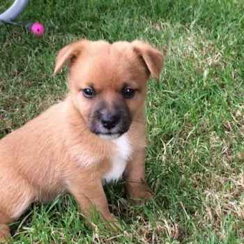 Jack Russell Pomeranian Mix Puppies For Sale