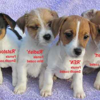 Jack Russell Puppies For Adoption