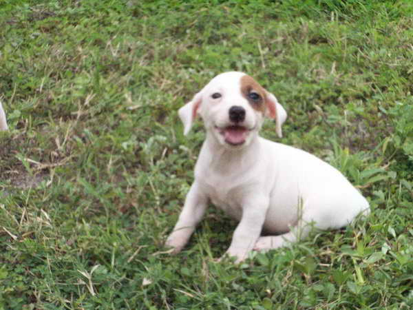 Jack Russell Puppies For Sale In Arizona