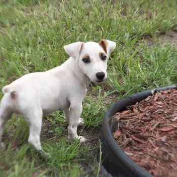 Jack Russell Puppies For Sale In California