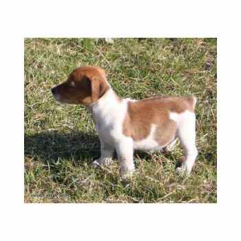 Jack Russell Puppies For Sale In Kansas