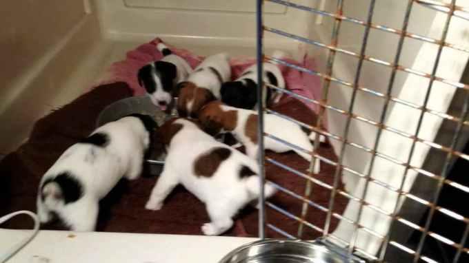Jack Russell Puppies Houston