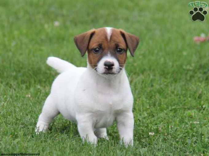 Jack Russell Puppies In Pa