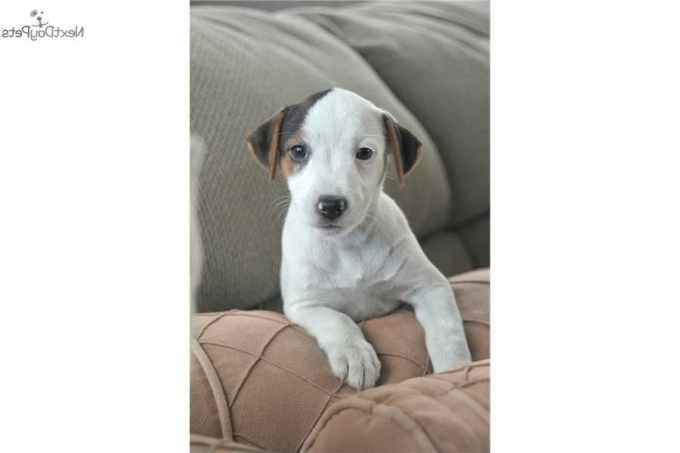 Jack Russell Puppies Los Angeles