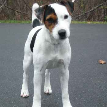 Jack Russell Puppies Massachusetts