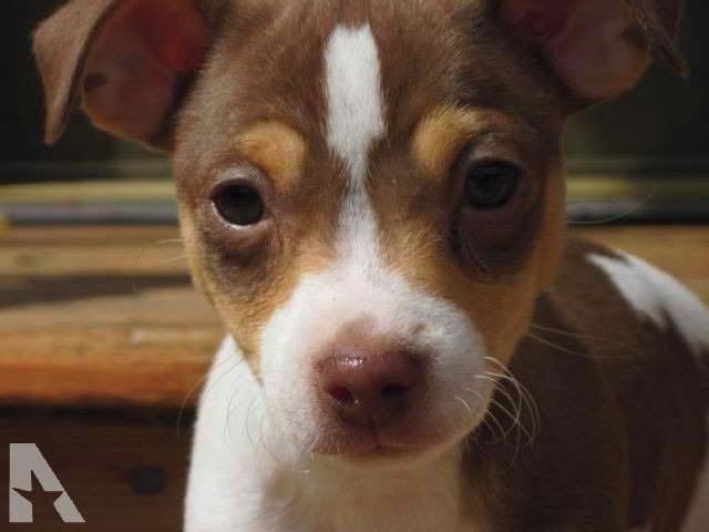 Jack Russell Puppies Minnesota