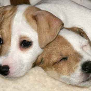 Jack Russell Puppies Northern California