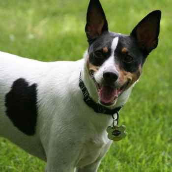 Jack Russell Rat Terrier Rescue
