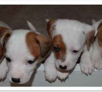 Jack Russell Rescue Ct