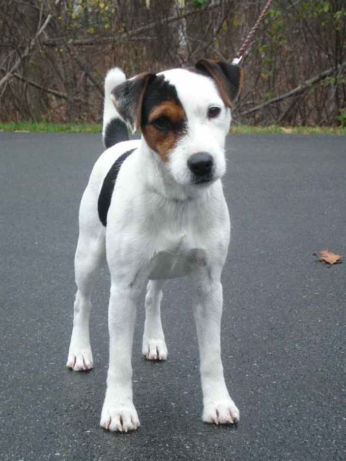 Jack Russell Rescue Ma