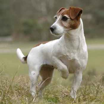 Jack Russell Rescue Tennessee