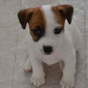 Jack Russell Rescue Texas