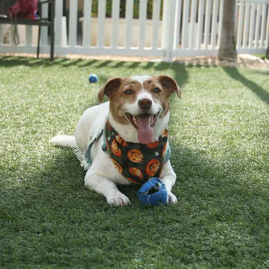 Jack Russell San Diego
