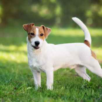 Jack Russell Temperment