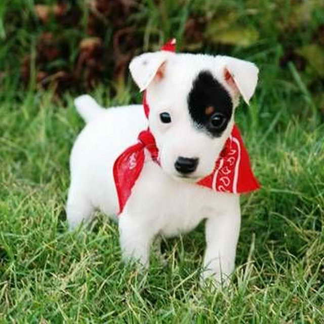 Jack Russell Terrier Baby