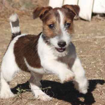 Jack Russell Terrier Breeders California