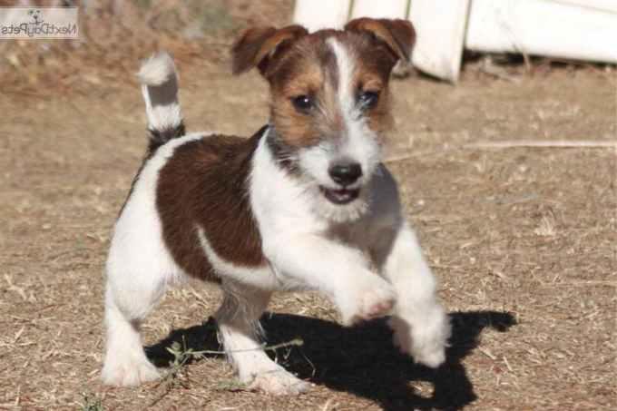 Jack Russell Terrier Breeders California
