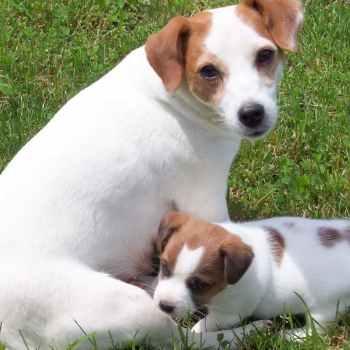 Jack Russell Terrier Breeders Ohio
