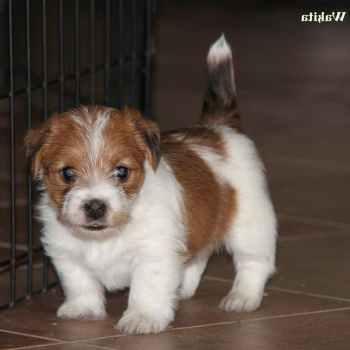 Jack Russell Terrier Colorado