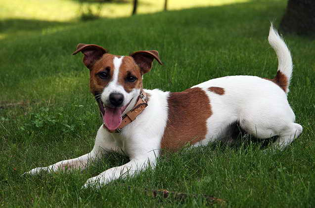 Jack Russell Terrier Dogs For Sale