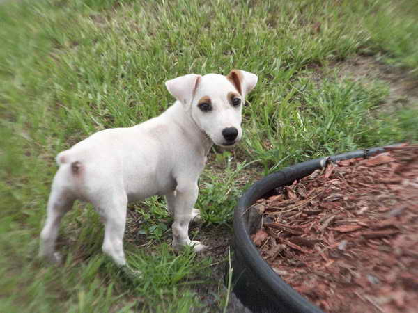 Jack Russell Terrier For Sale In California