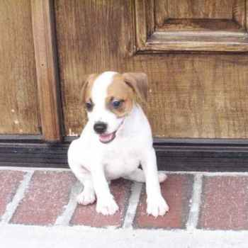 Jack Russell Terrier For Sale In Florida