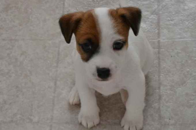 Jack Russell Terrier For Sale In Mi