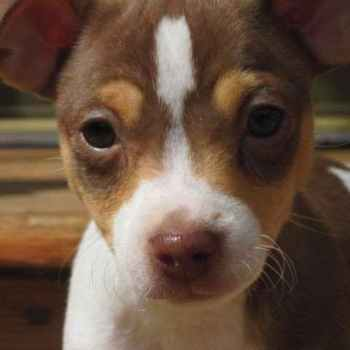 Jack Russell Terrier For Sale In Mn