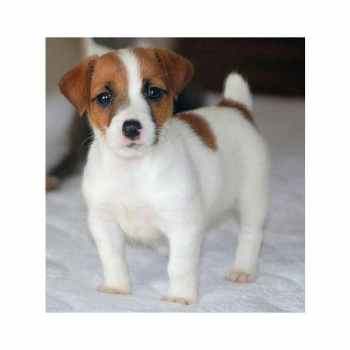 Jack Russell Terrier For Sale In Va