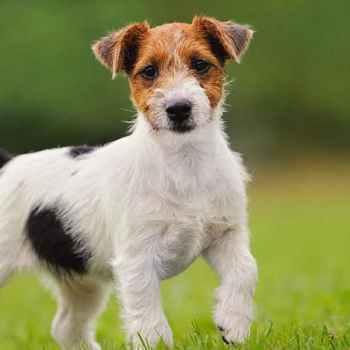 Jack Russell Terrier Hypoallergenic