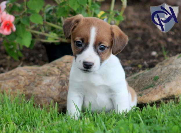Jack Russell Terrier Mix For Sale
