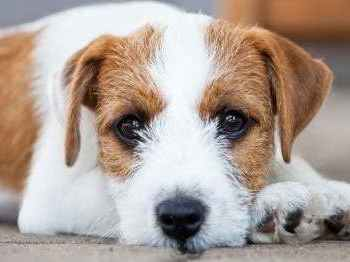 Jack Russell Terrier Names Female