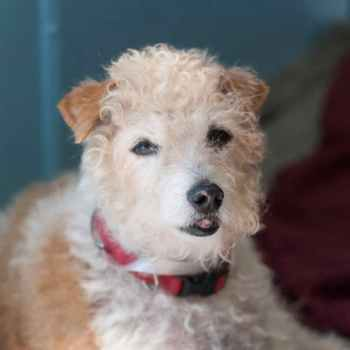 Jack Russell Terrier Poodle Mix