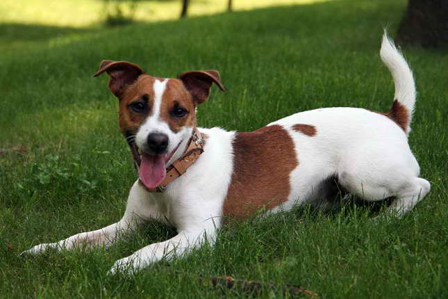 Jack Russell Terrier Puppies Adoption