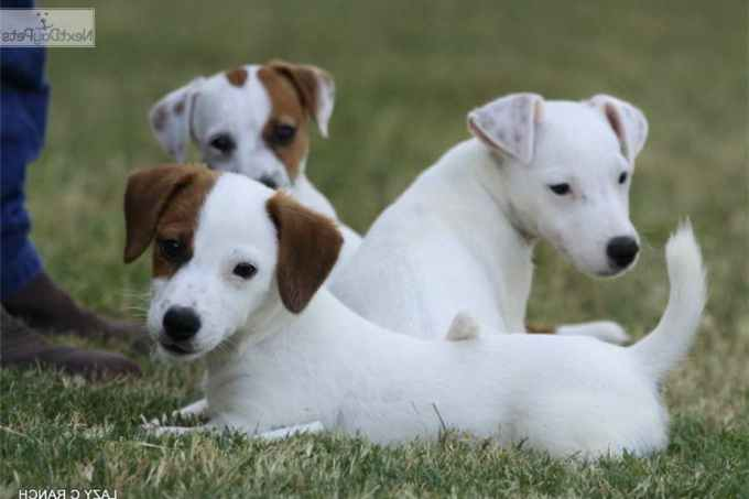 Jack Russell Terrier Puppies Dallas