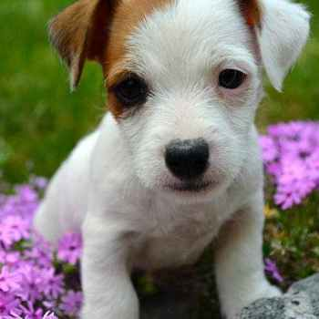Jack Russell Terrier Puppies For Sale California