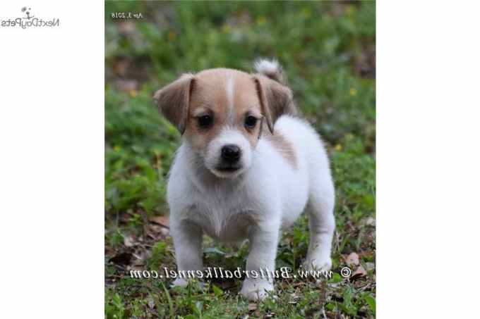 Jack Russell Terrier Puppies For Sale Florida