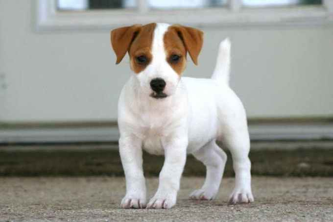 Jack Russell Terrier Puppies For Sale In Sc