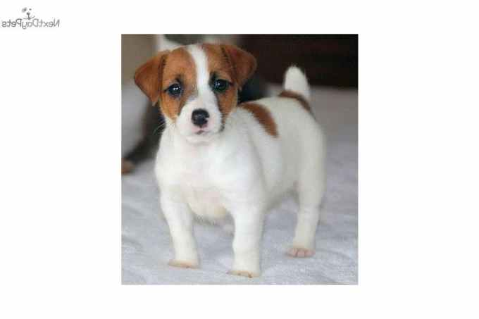 Jack Russell Terrier Puppies For Sale In Virginia
