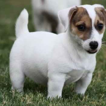 Jack Russell Terrier Puppies Texas