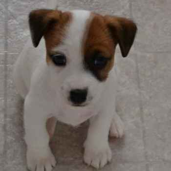 Jack Russell Terrier Puppy Adoption