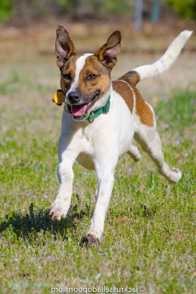 Jack Russell Terrier Rescue Adoption