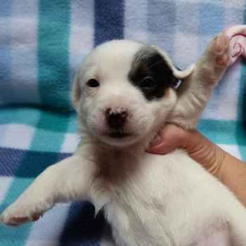 Jack Russell Terrier Rescue Az