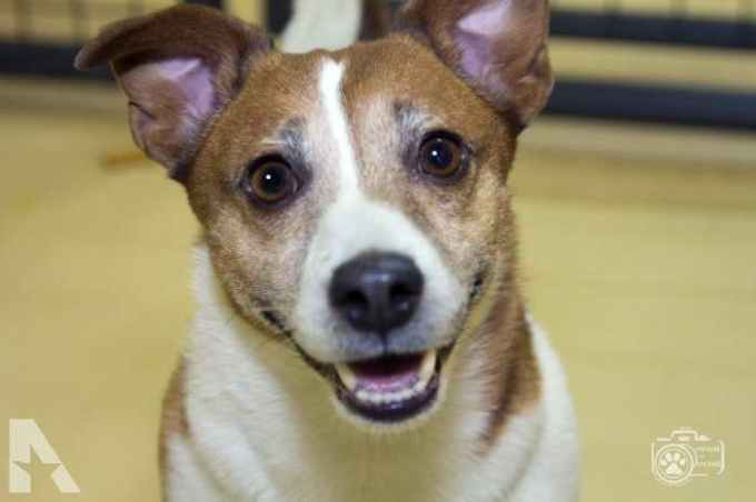 Jack Russell Terrier Rescue Colorado