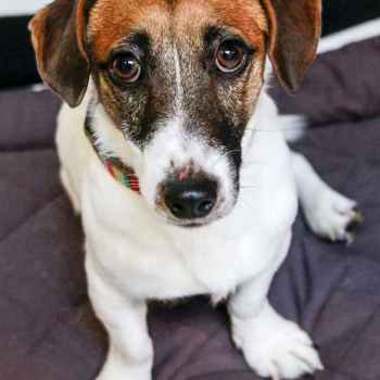 Jack Russell Terrier Rescue Mn