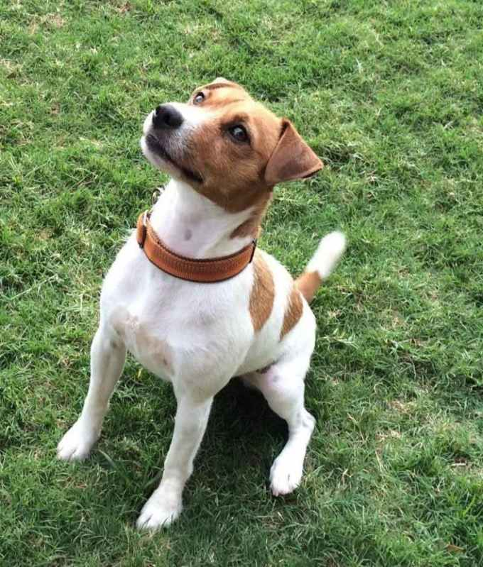 Jack Russell Terrier Rescue San Diego