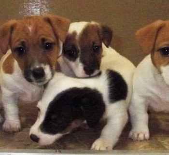 Jack Russell Terrier Rescue Va
