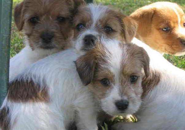 Jack Russell Terrier Rough Coat Puppies For Sale