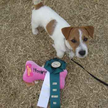 Jack Russell Terrier Tucson