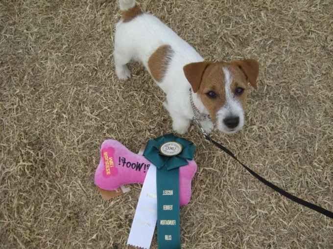 Jack Russell Terrier Tucson